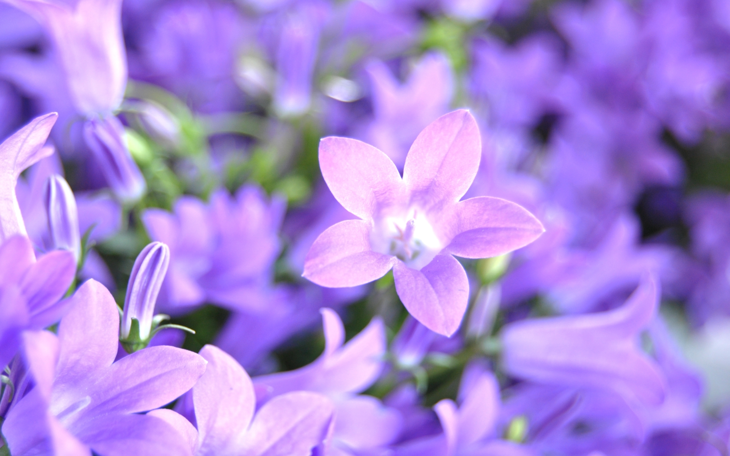 bluebell free wallpapers