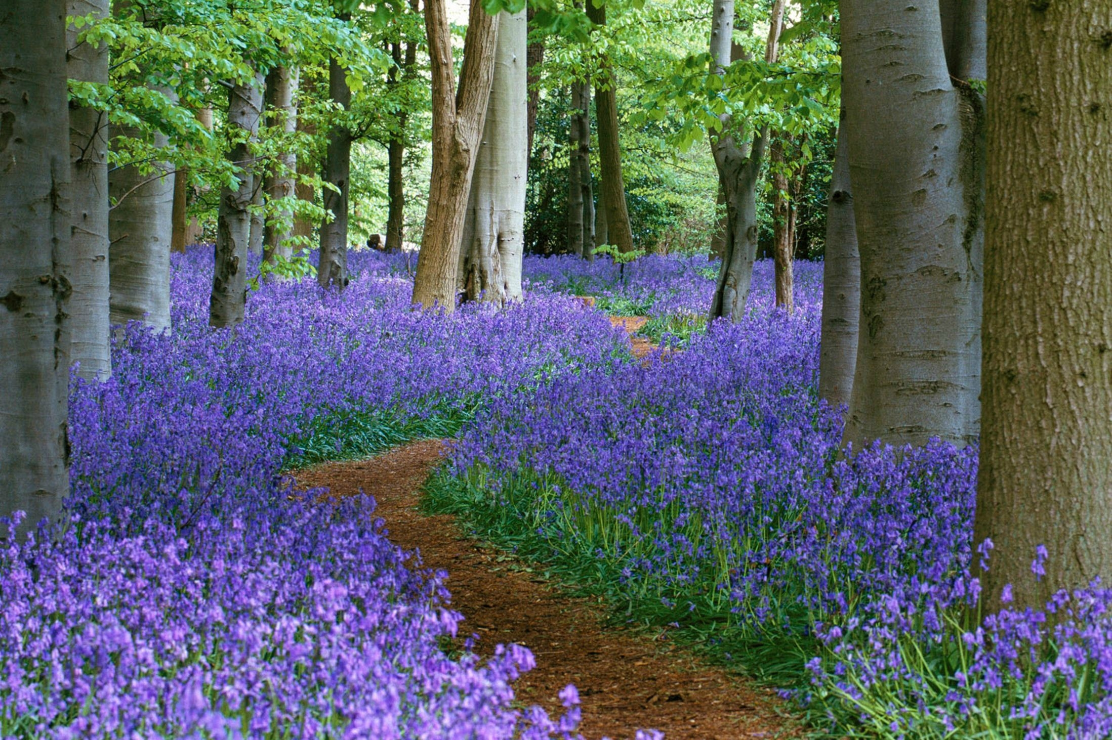 bluebell free