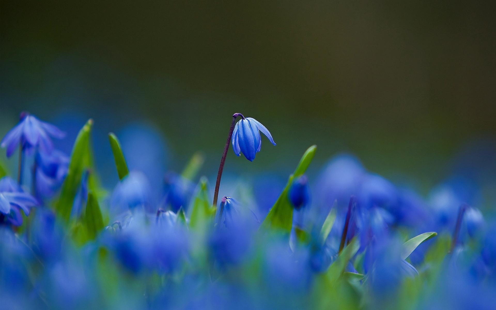 bluebell hd deskto