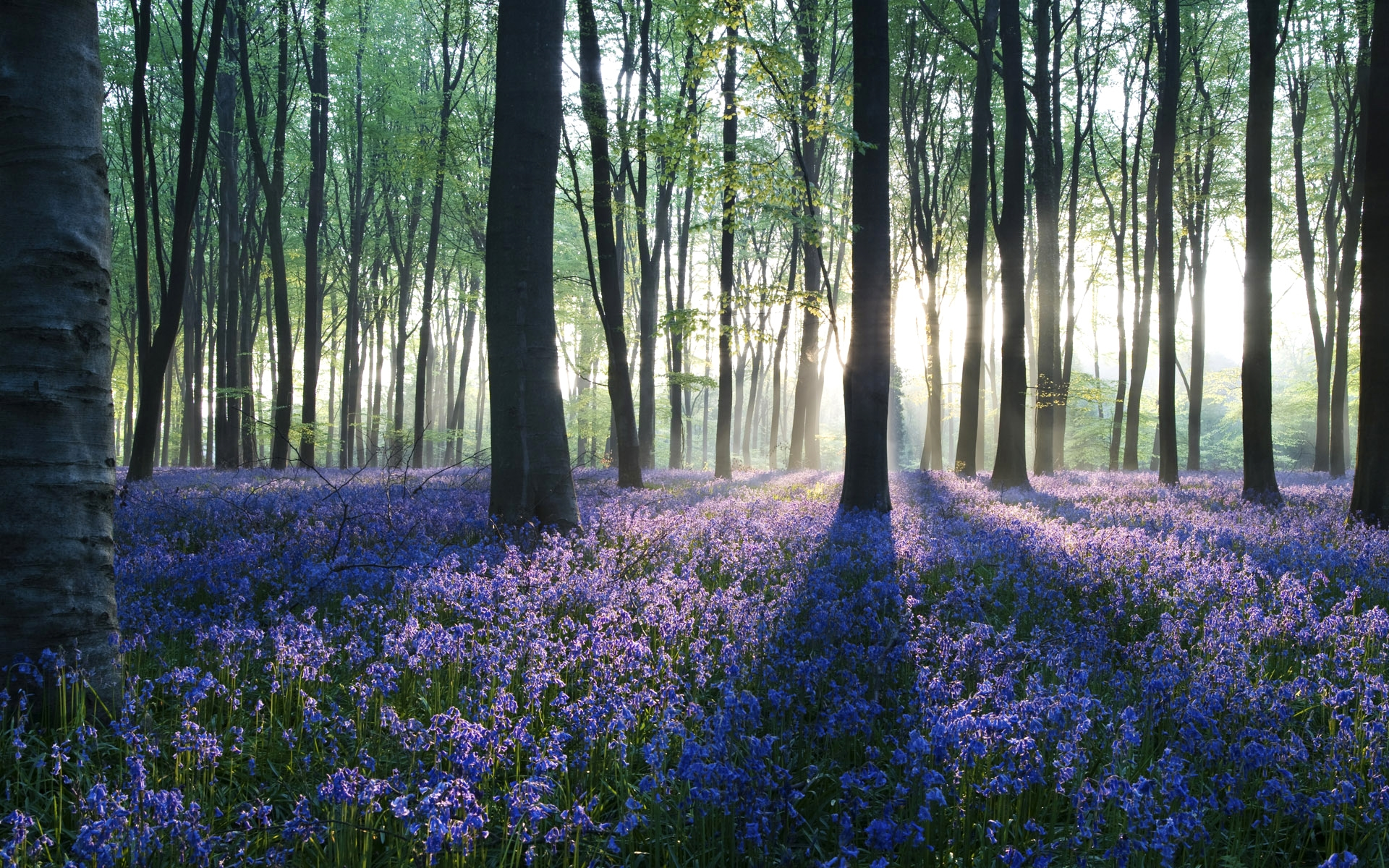 bluebell images