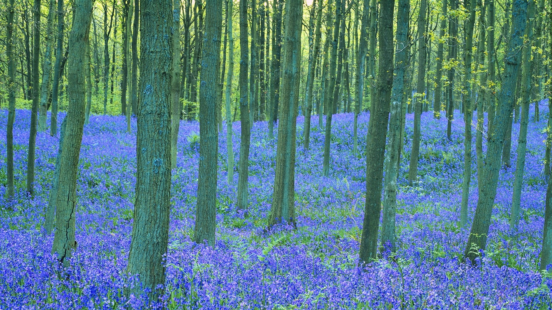 bluebell photo