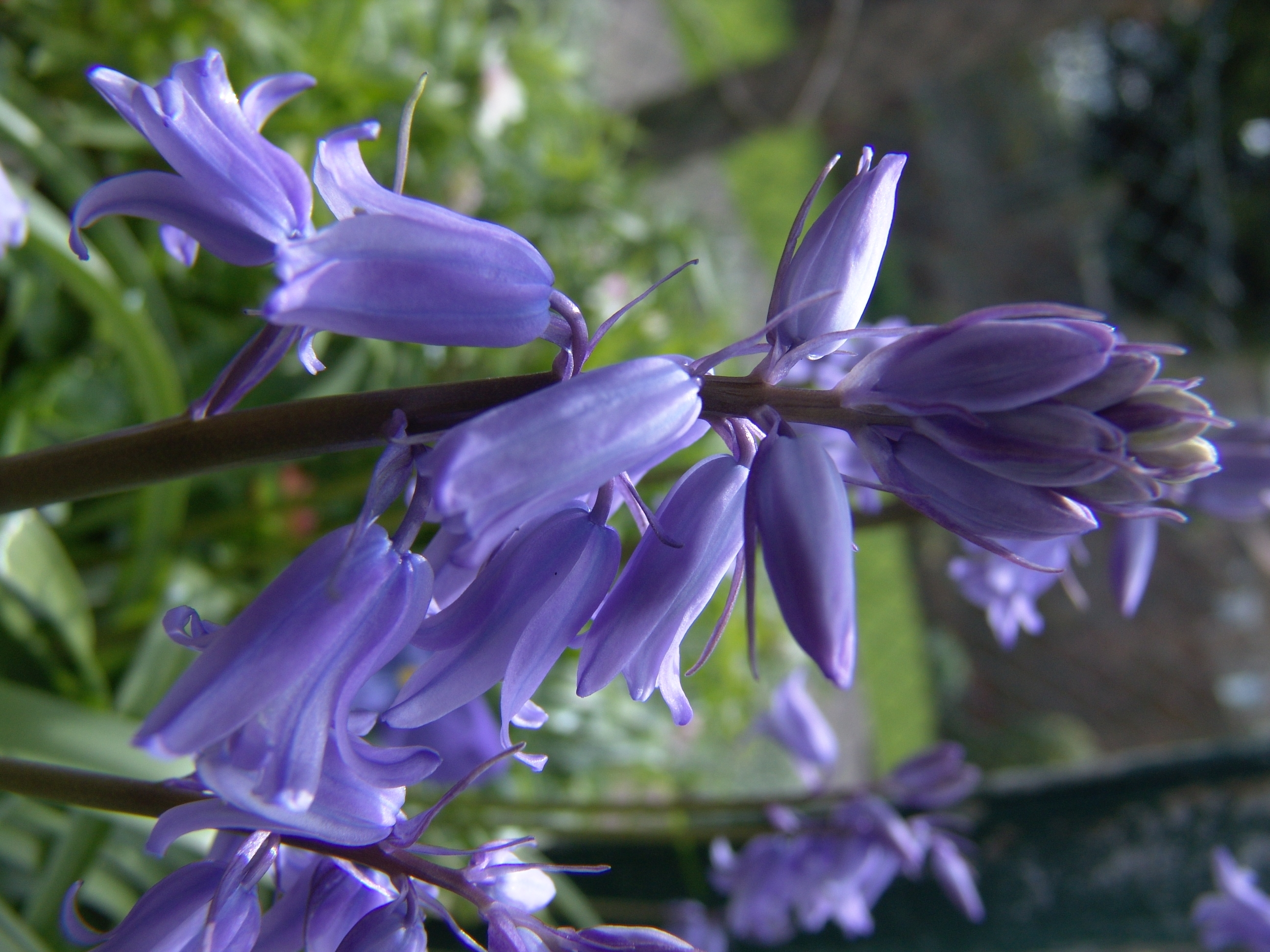 bluebell pics