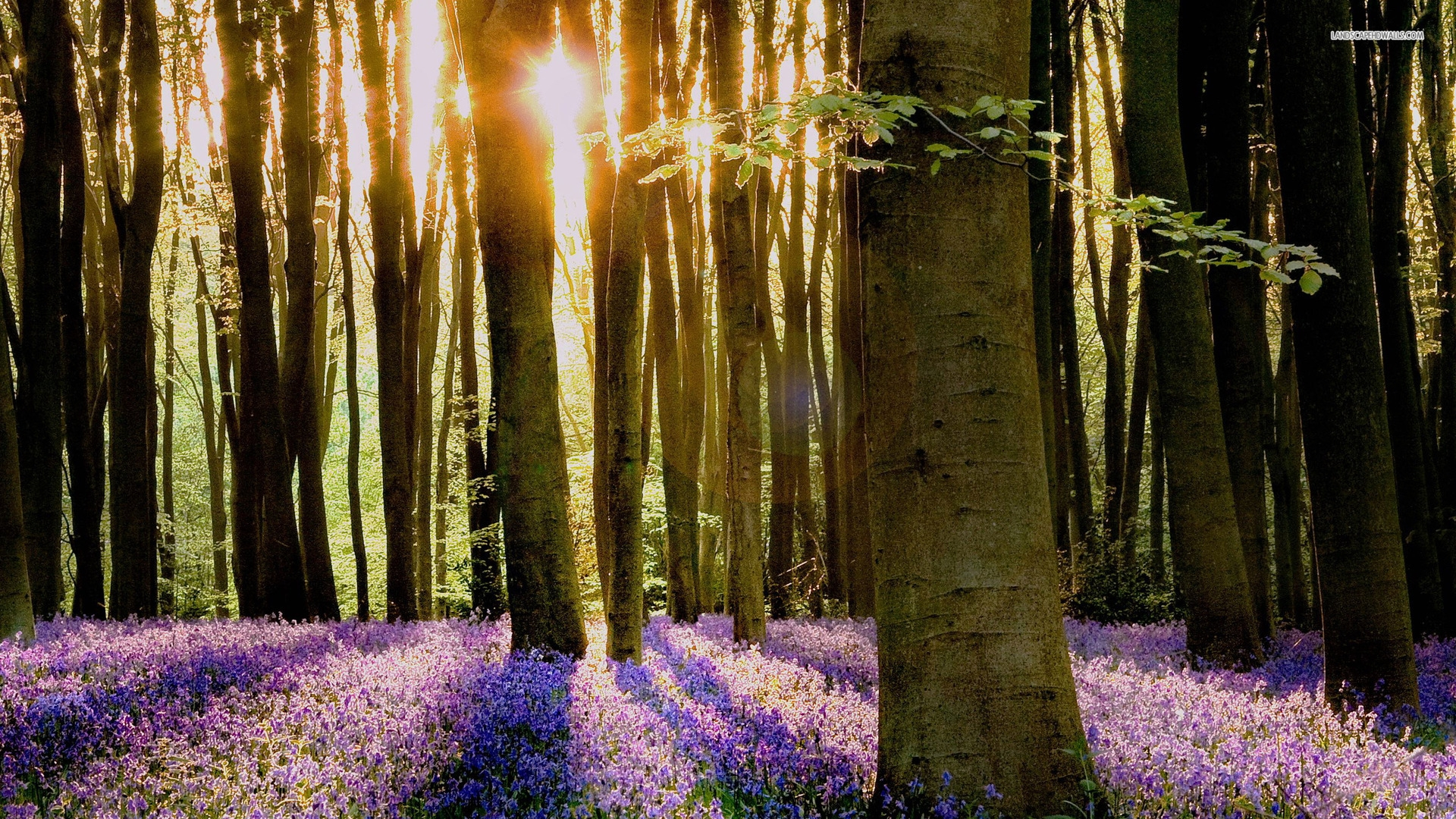 bluebell wallpapers hd