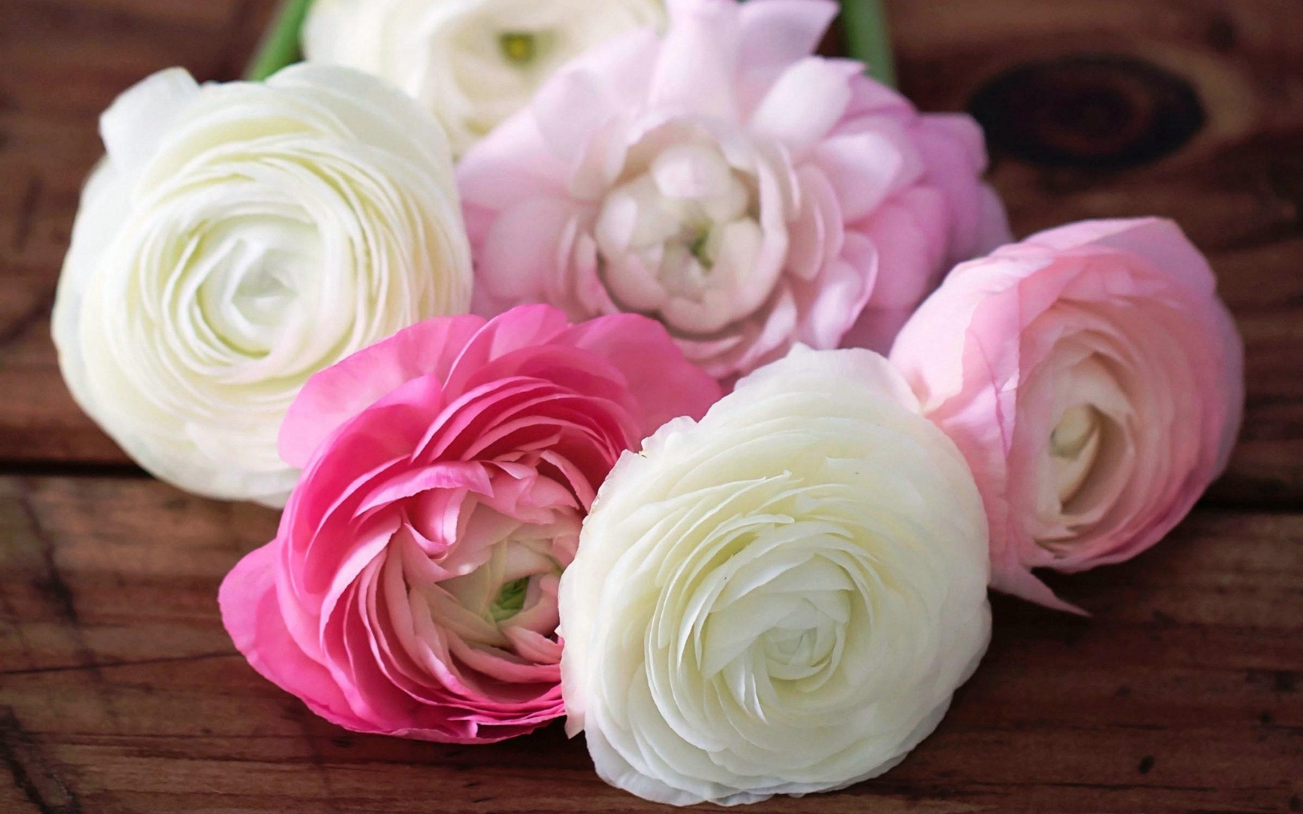 camellias deskto