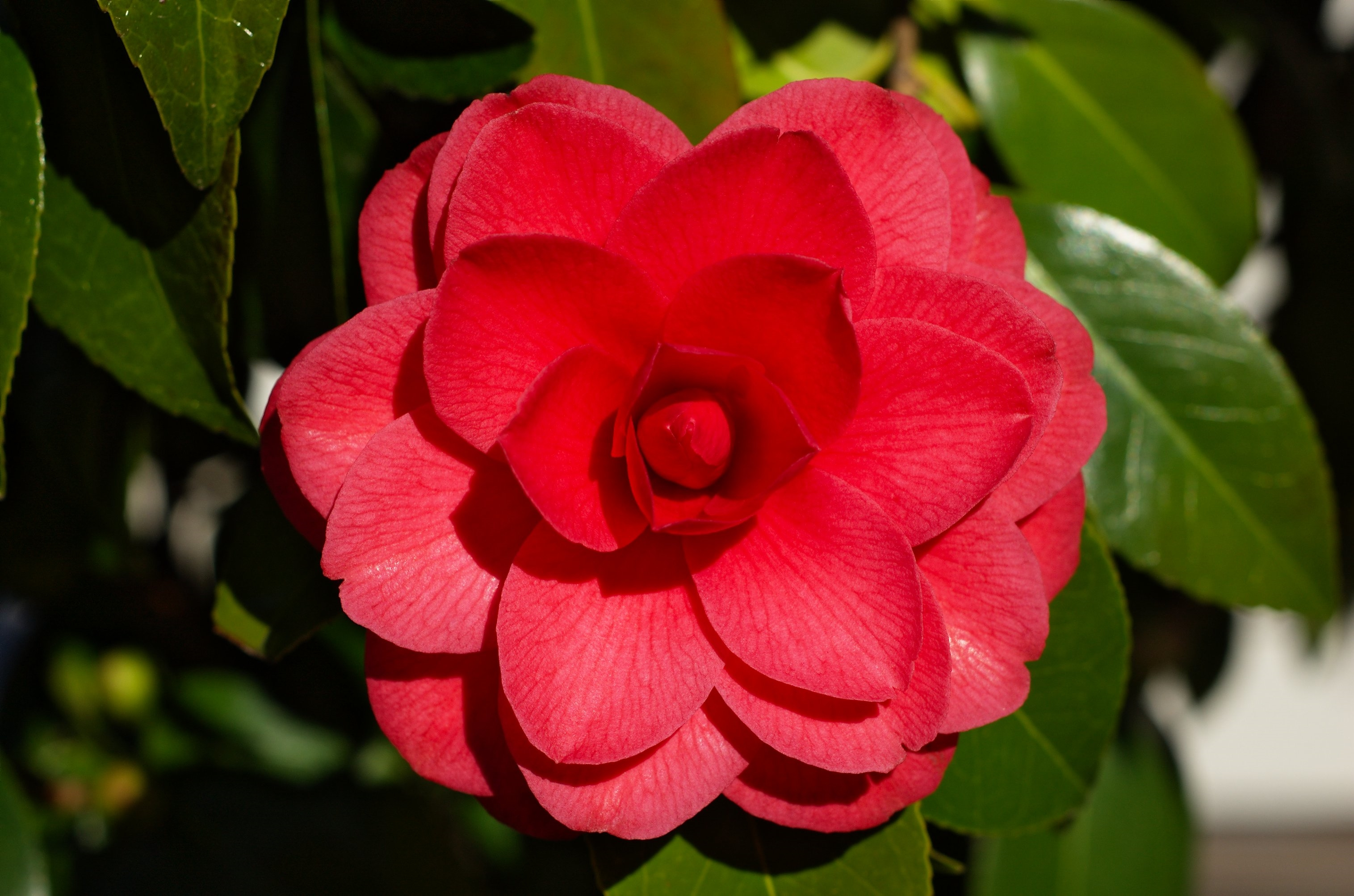 camellias download wallpaper
