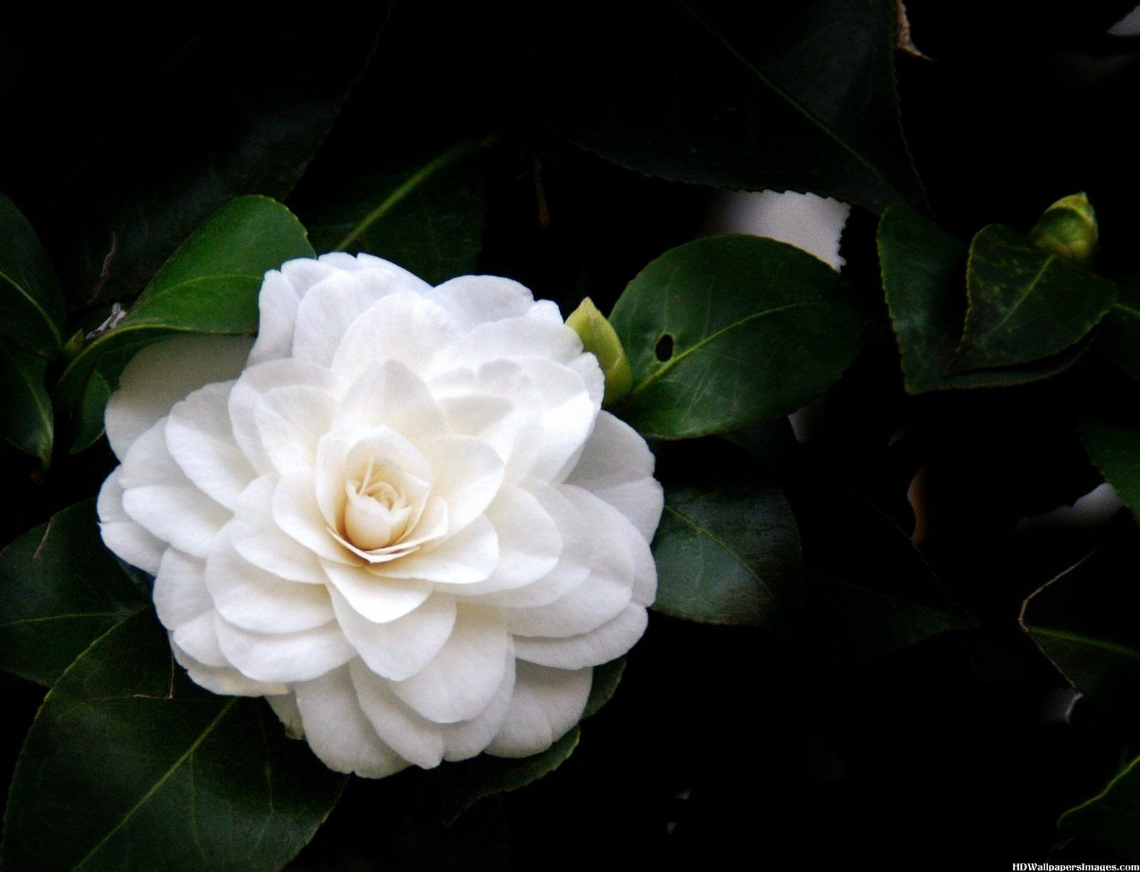 camellias free download