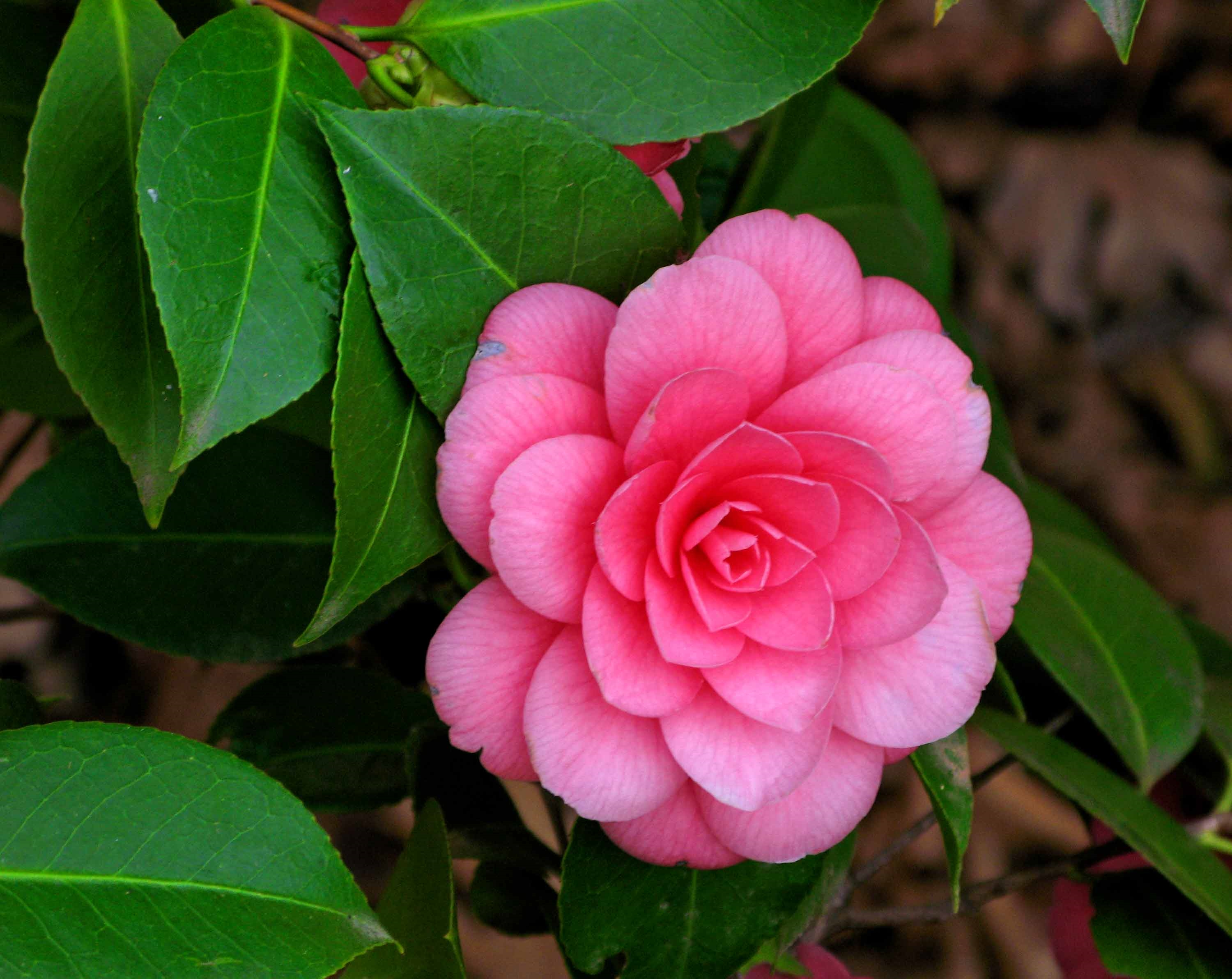 camellias free