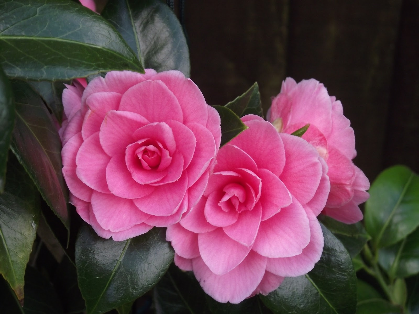 camellias hd pics