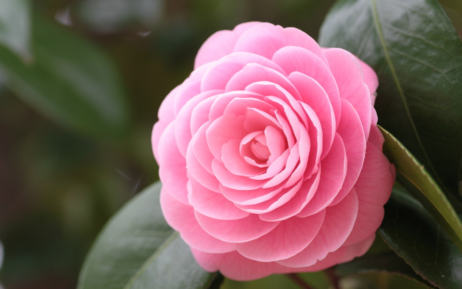 camellias high definition wallpapers