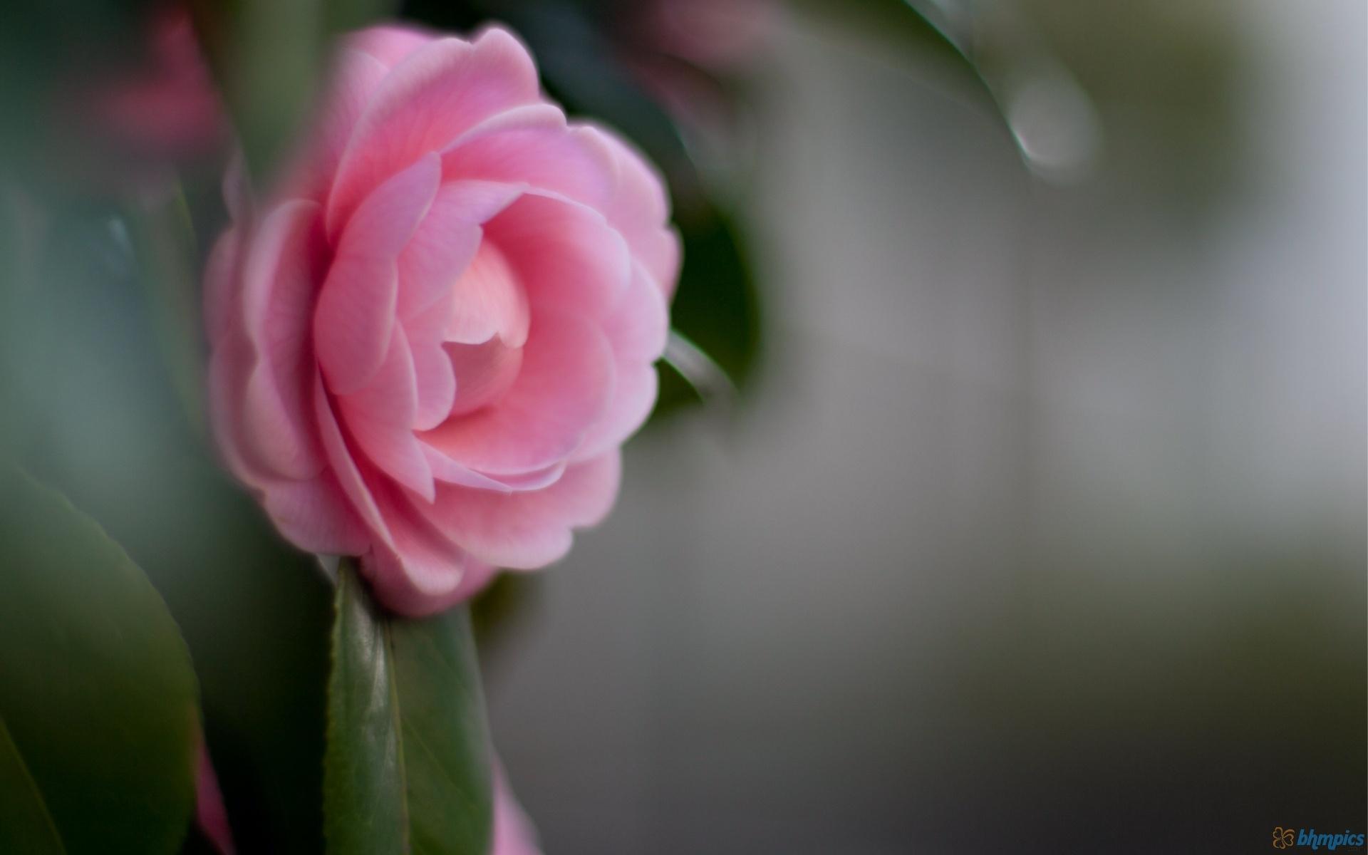 camellias photos