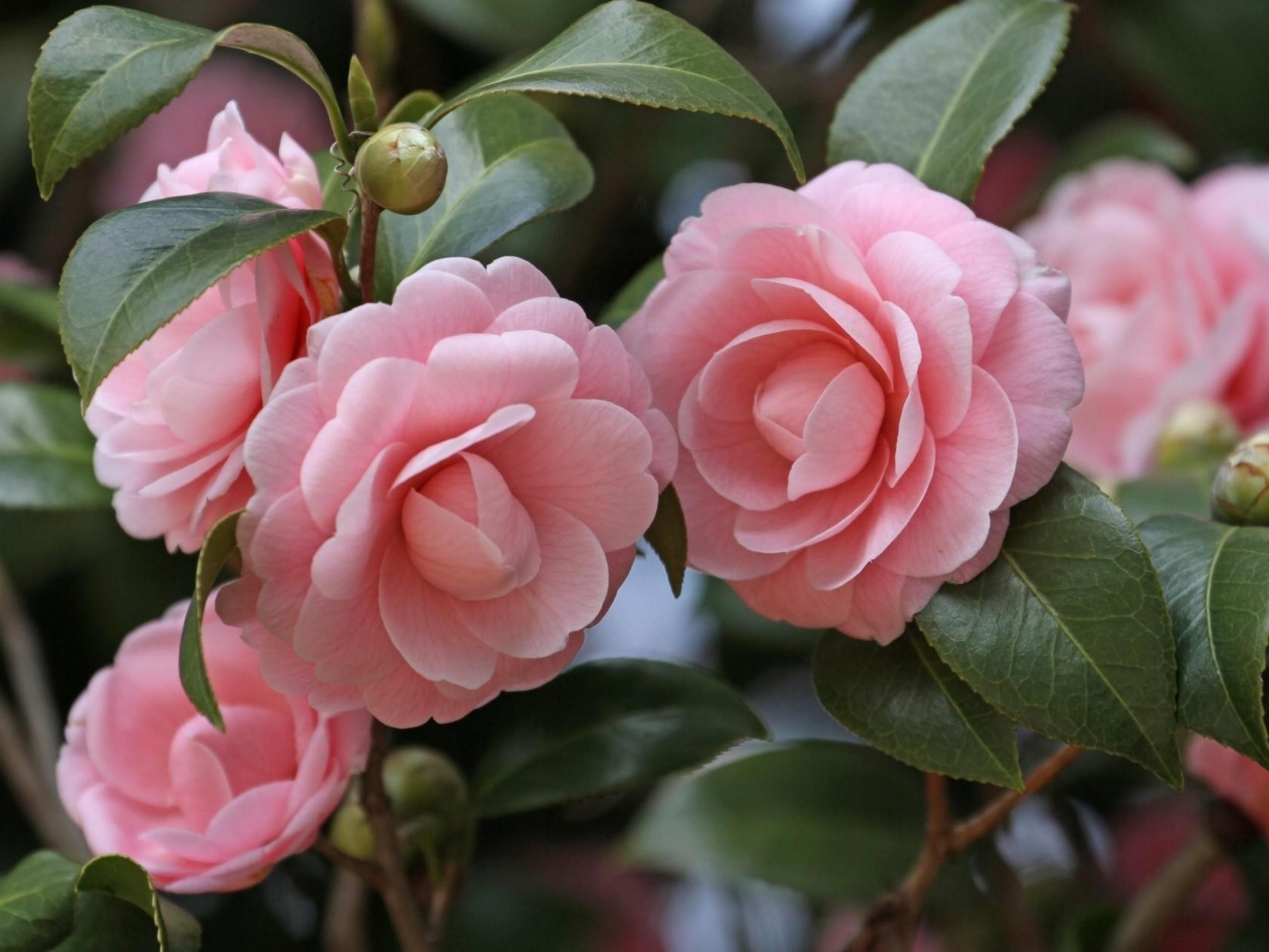 camellias pictures