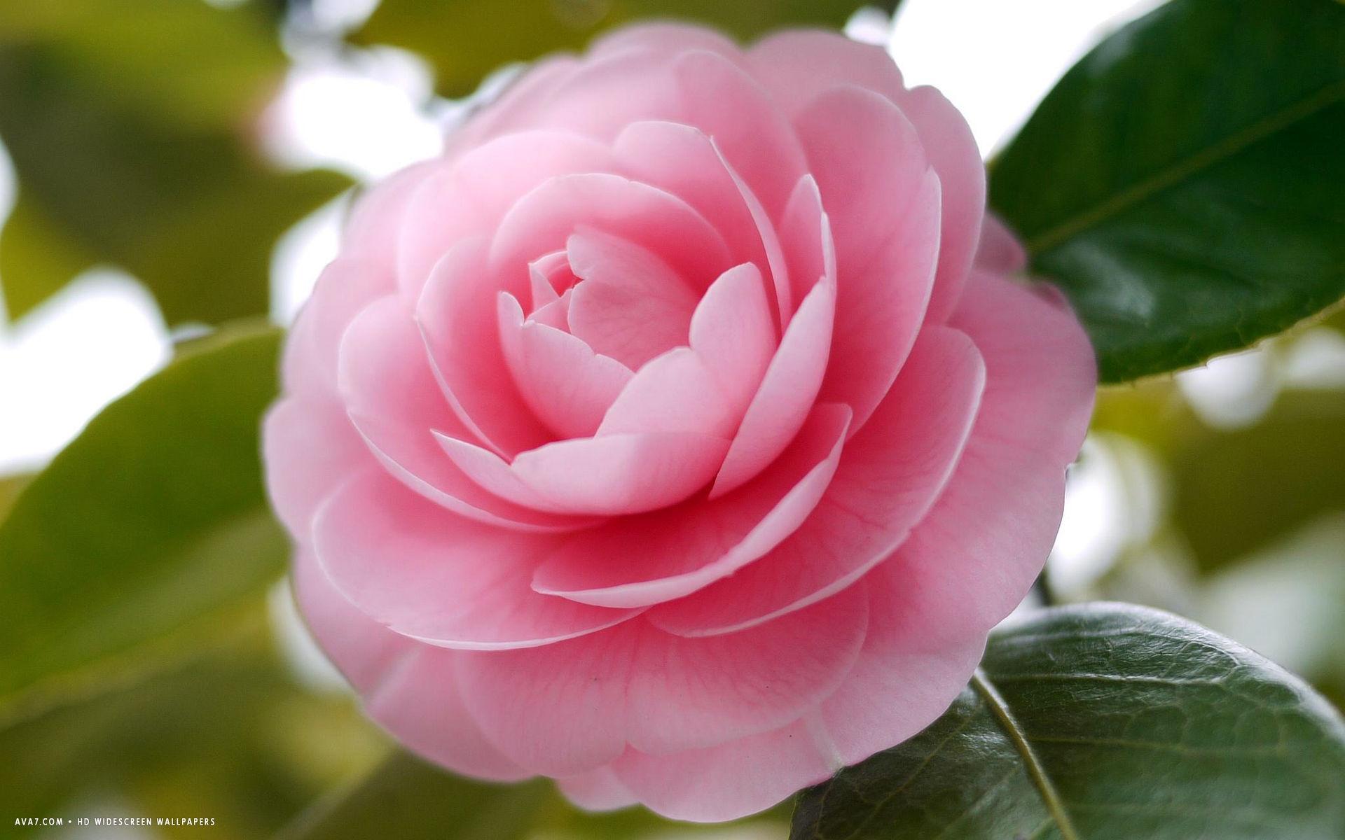 camellias wallpaper