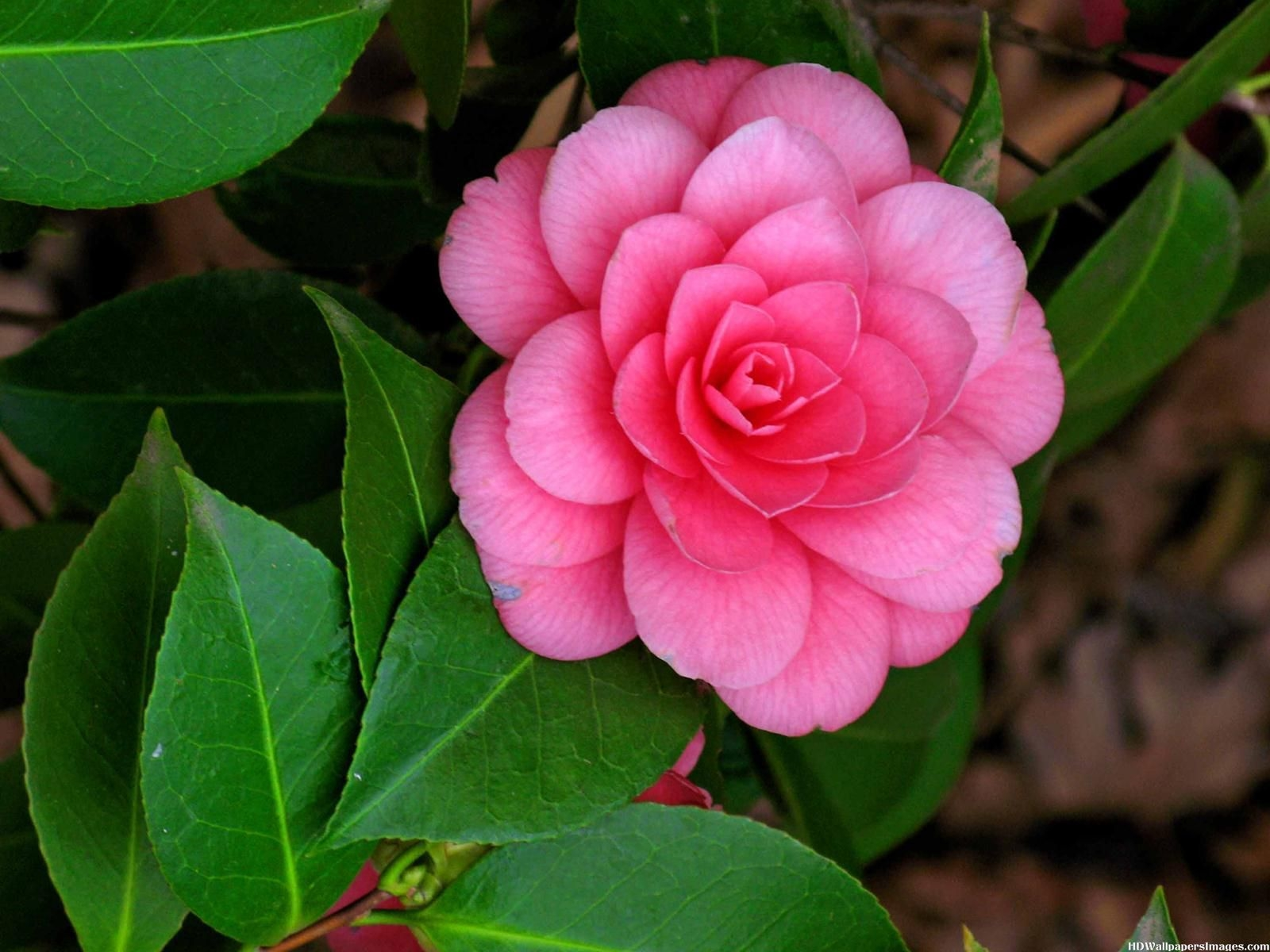 camellias wallpapers