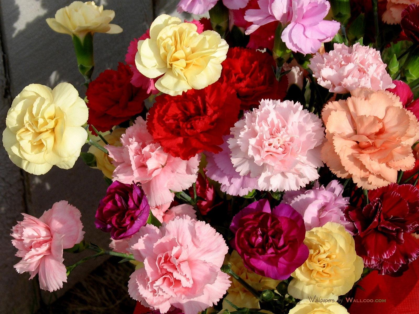 carnation free download