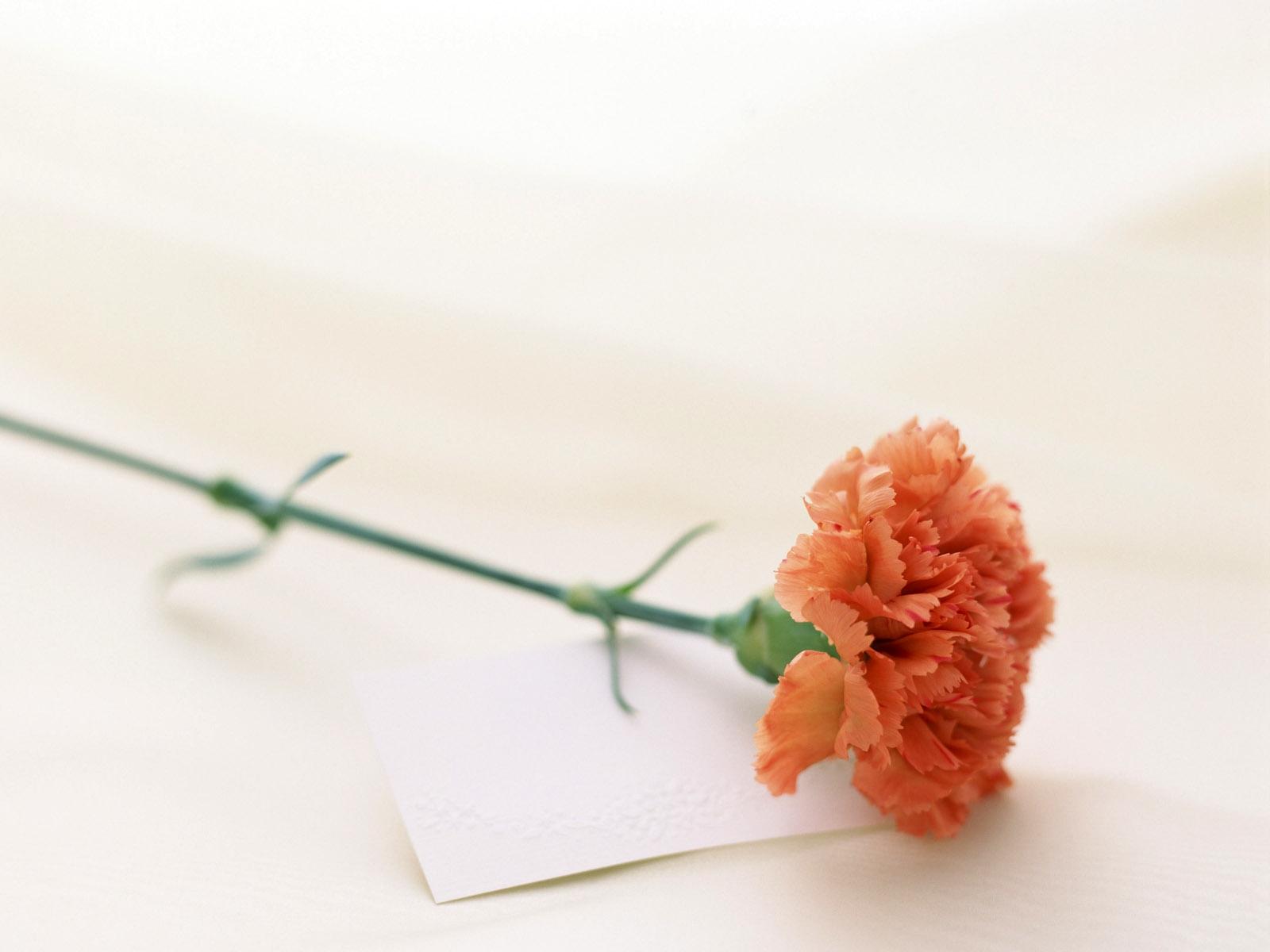 carnation free