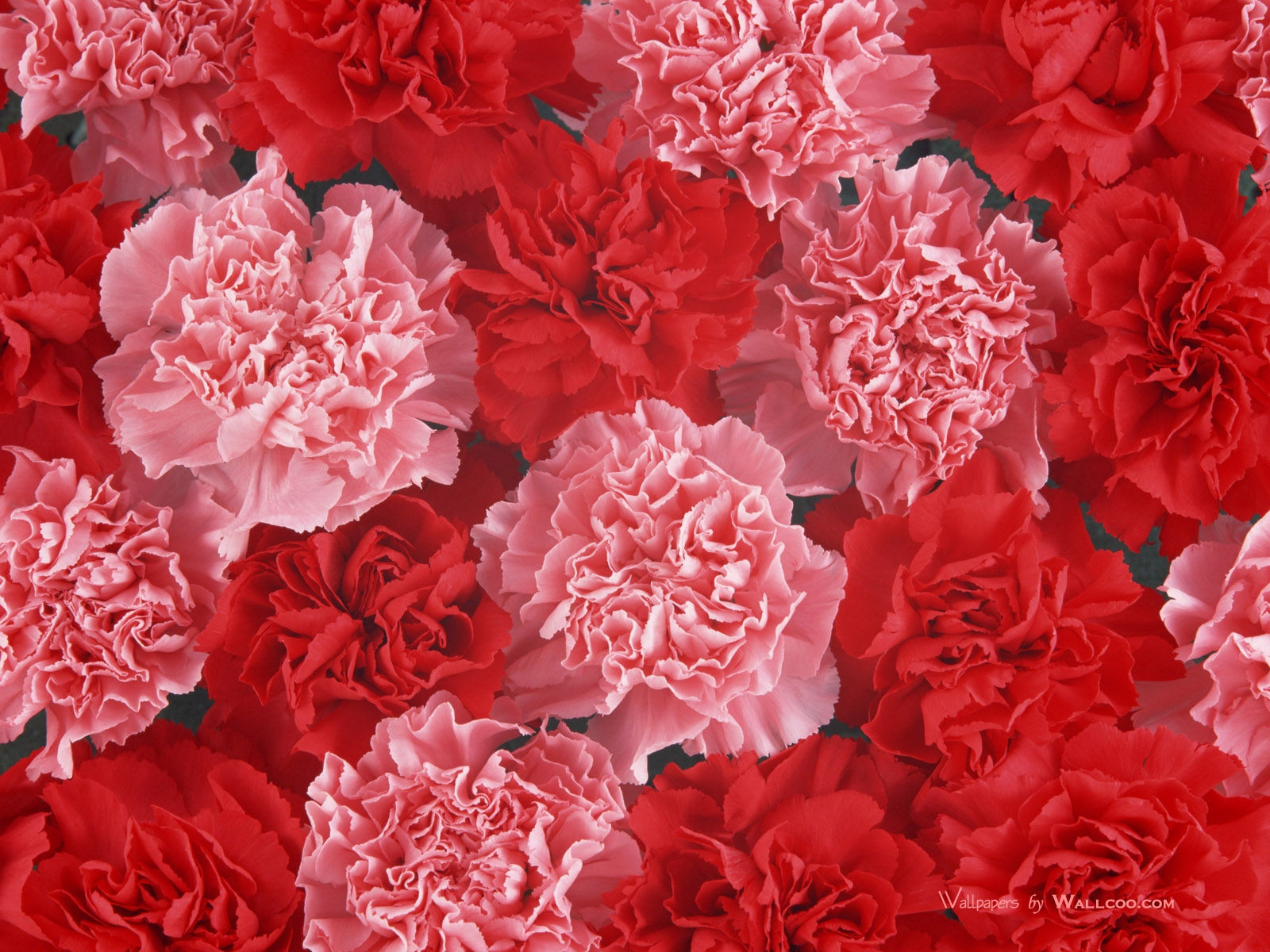 carnation full hd