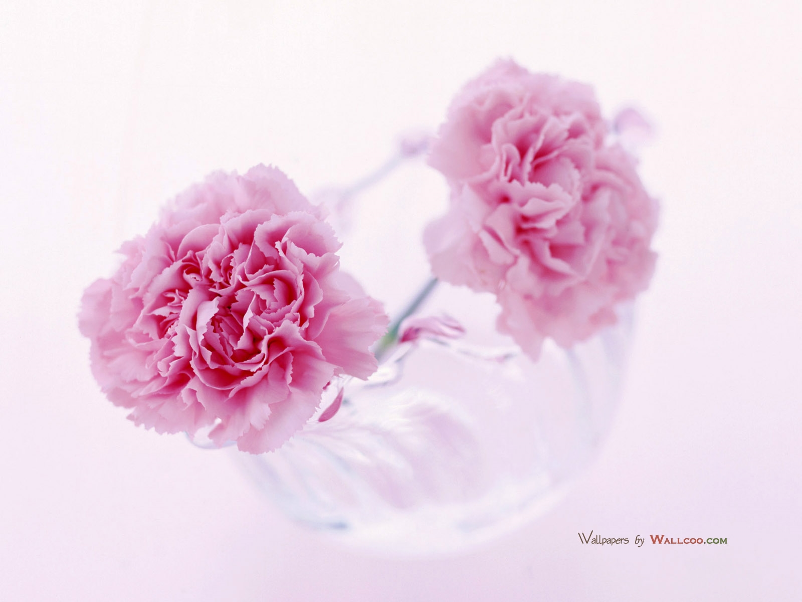 carnation hd deskto
