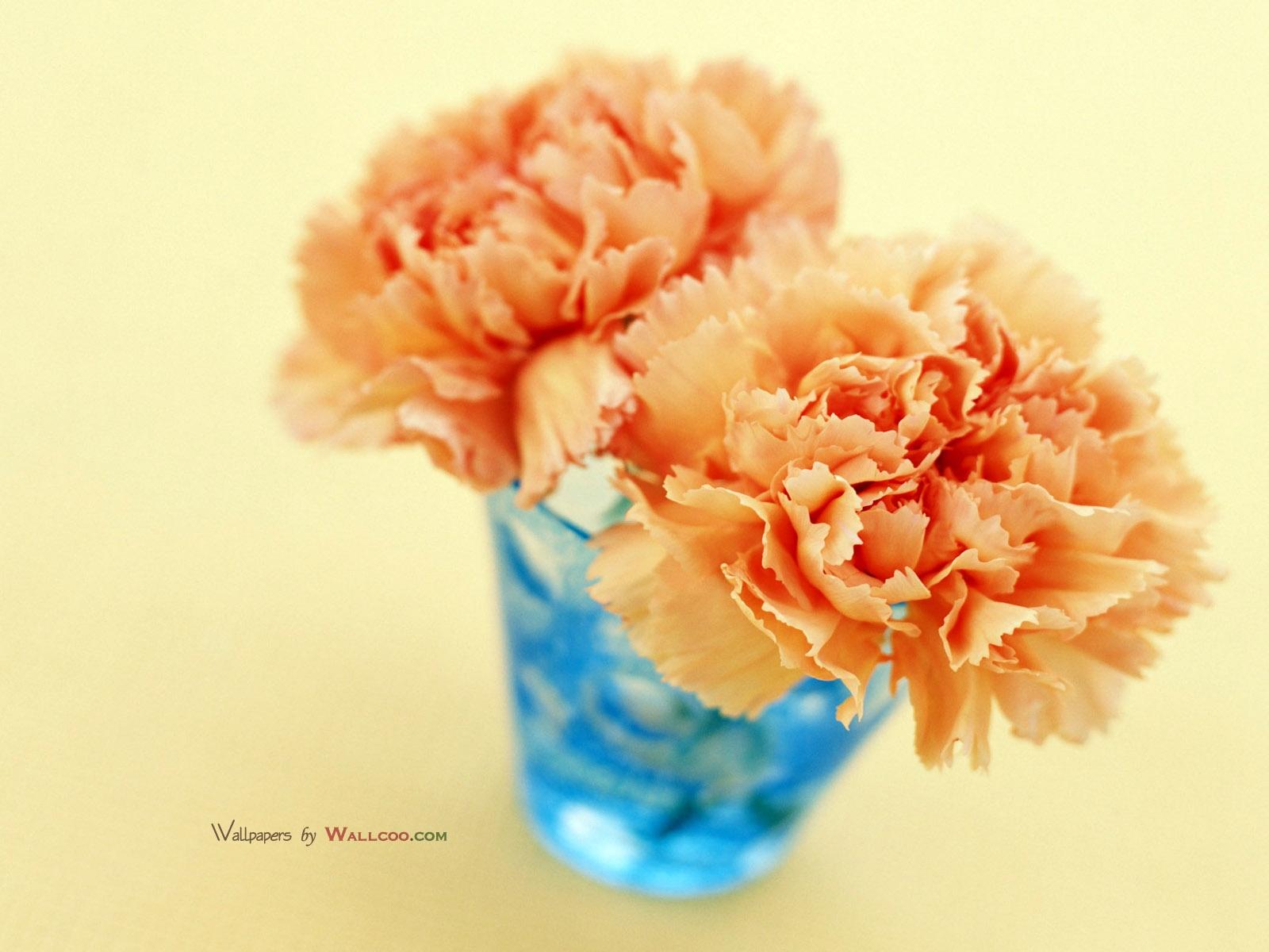 carnation hd pics