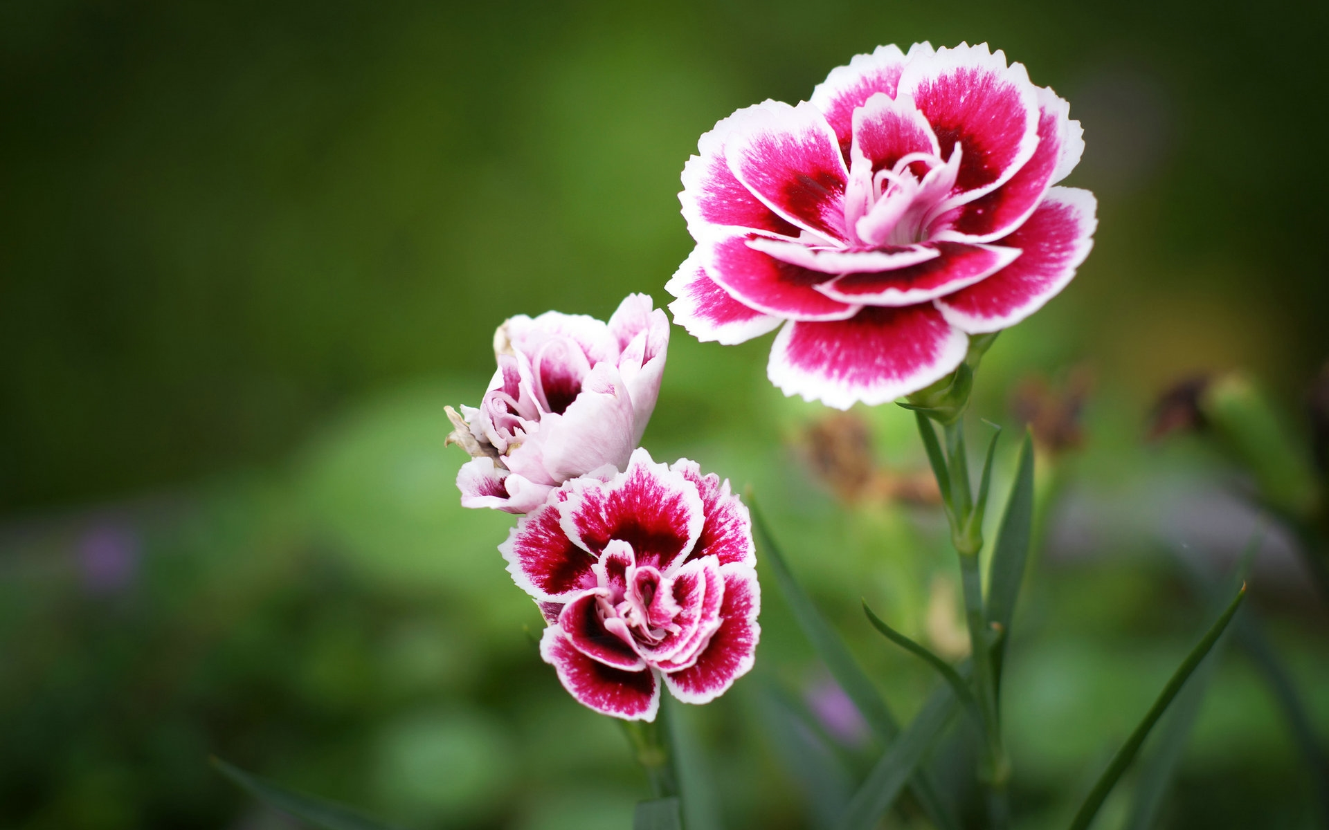 carnation hd