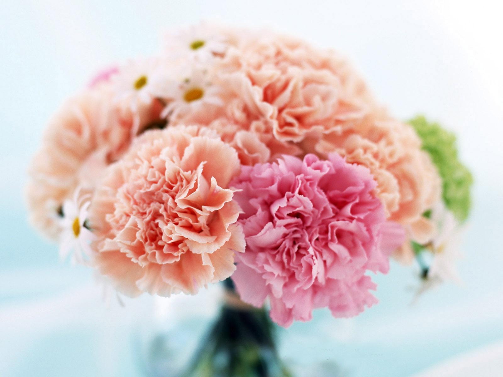carnation images