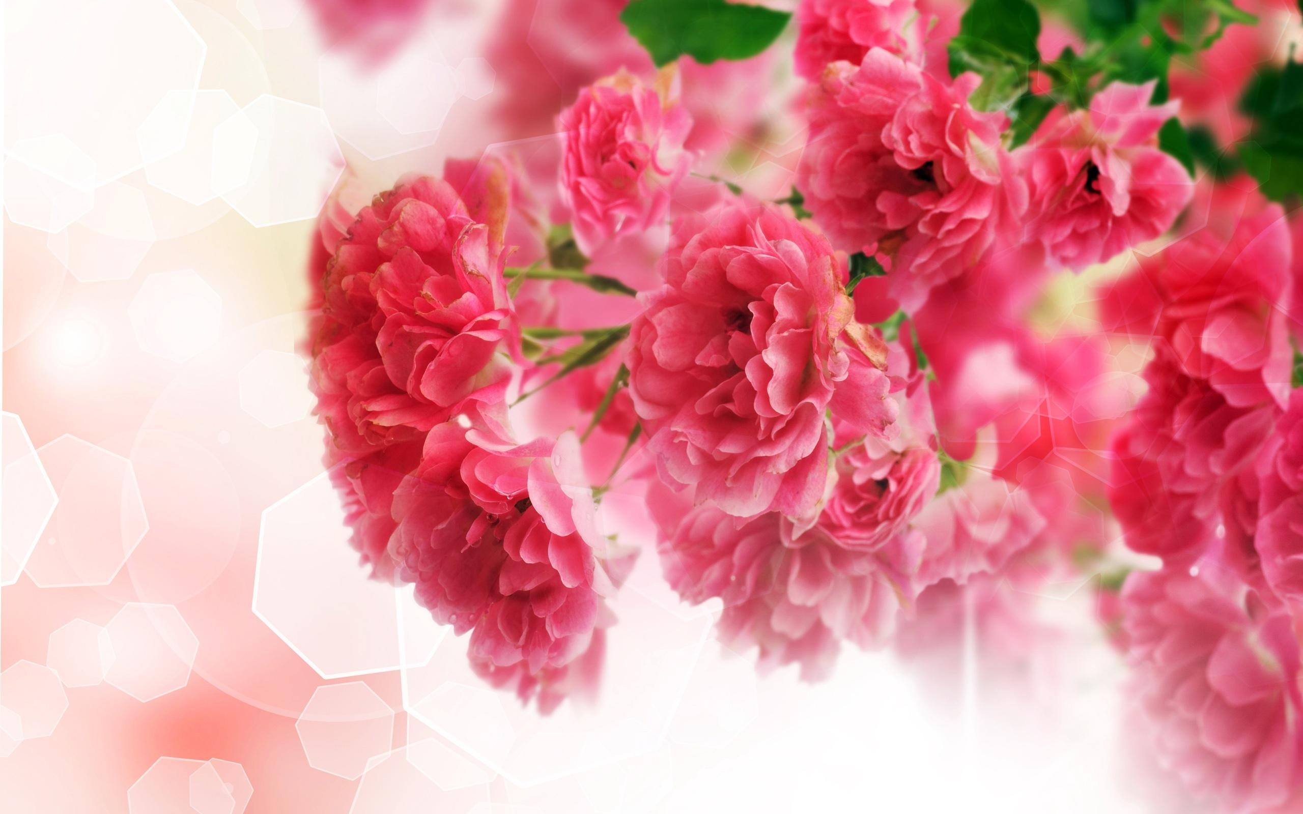 carnation photo