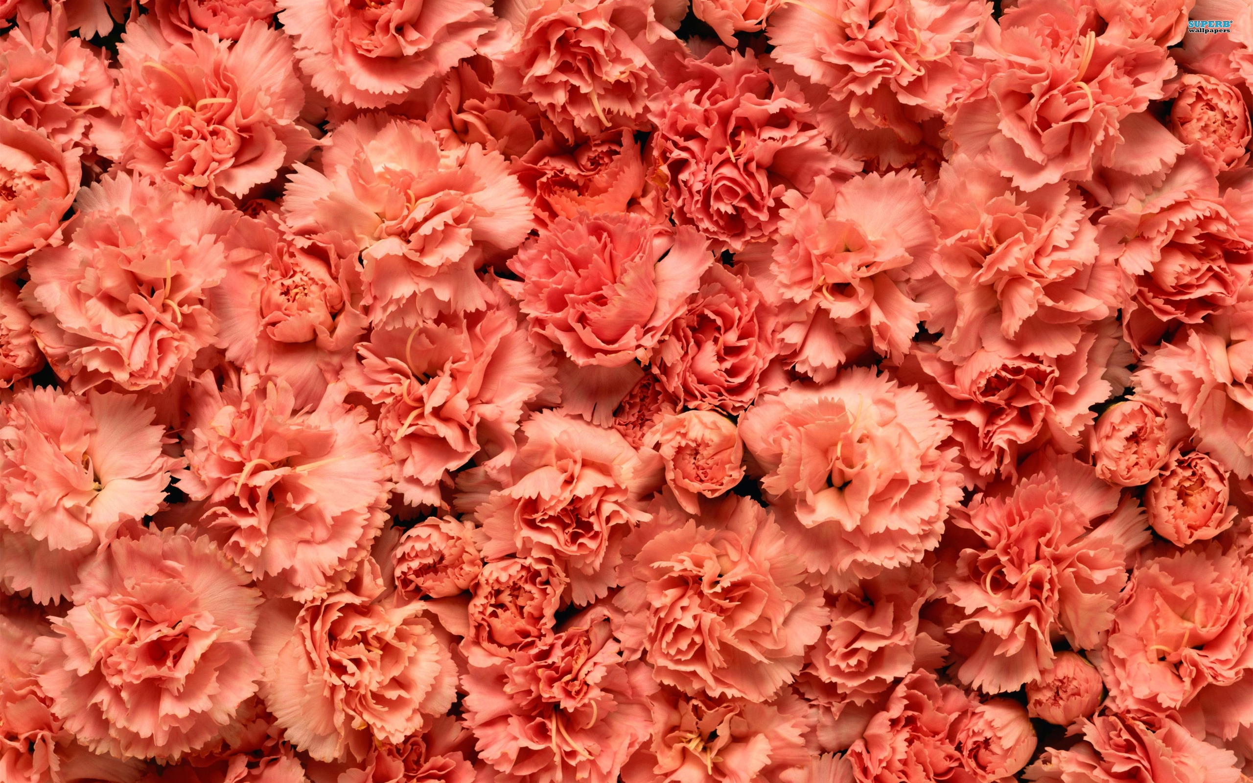 carnation wallpaper