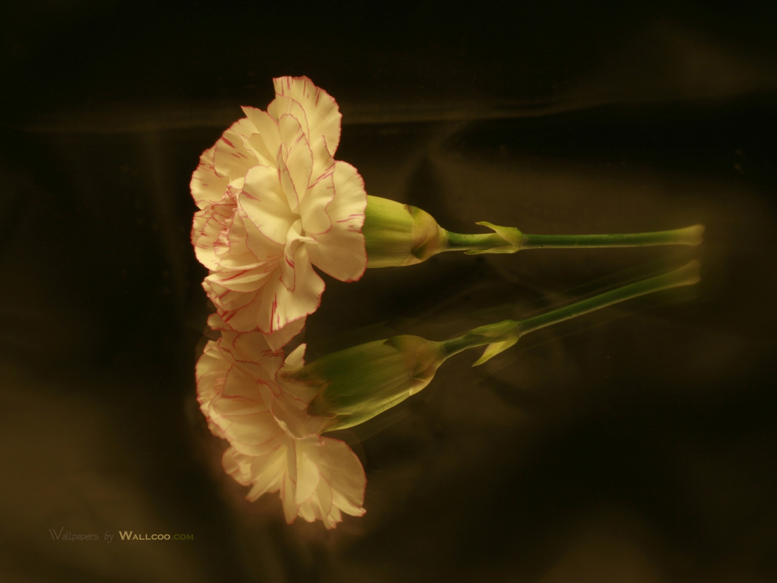 carnation wallpapers hd