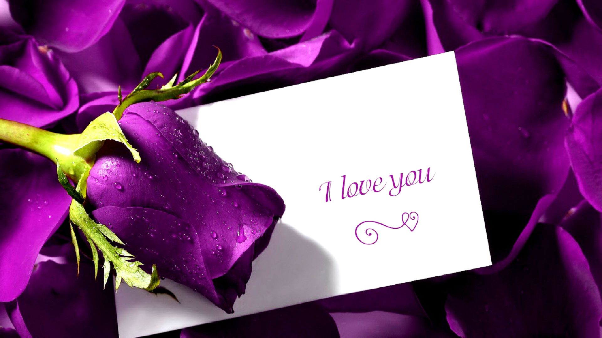 valentines day purple rose hd wallpaper