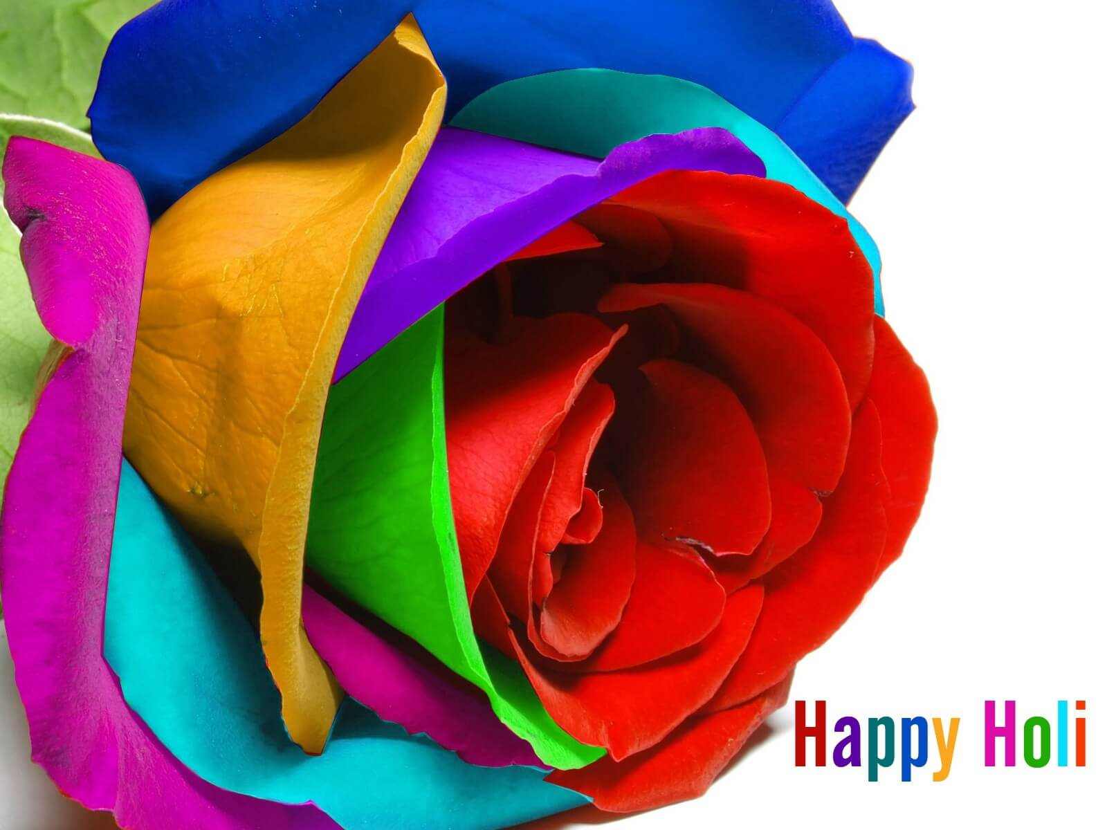 colorful rose happy holi wishes hd wallpaper