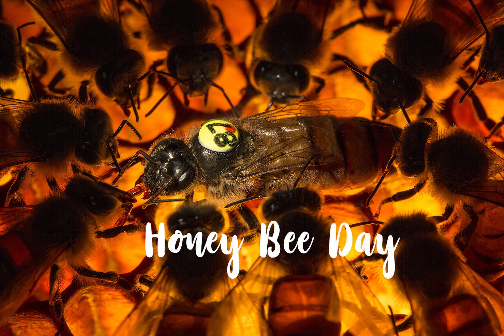 happy honey bee day image background pc hd wallpaper