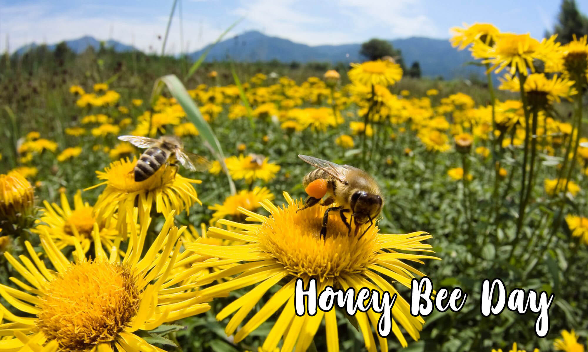 happy honey bee day sitting on sun flower hd wallpaper