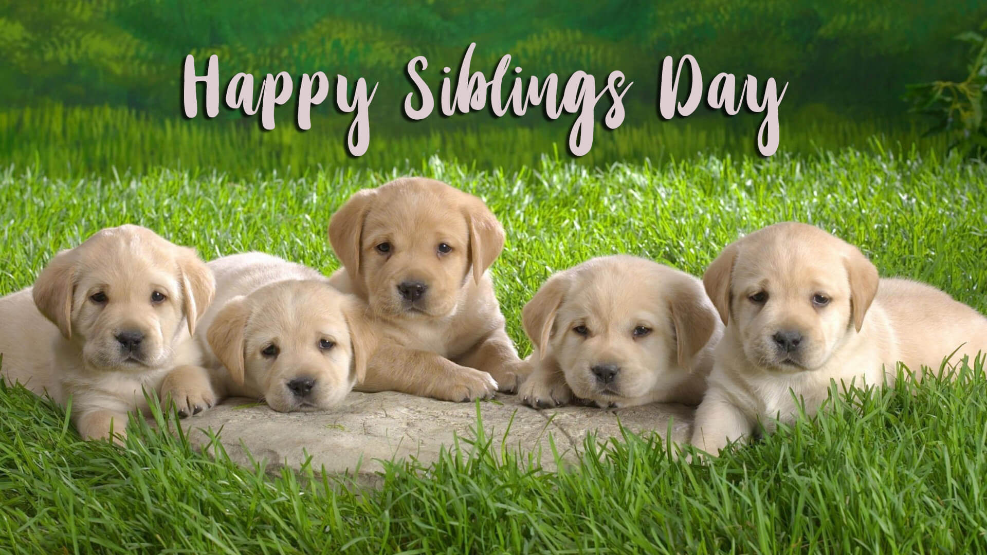 Happy National Siblings Day Five Puppy Labrador Dog Hd Wallpaper