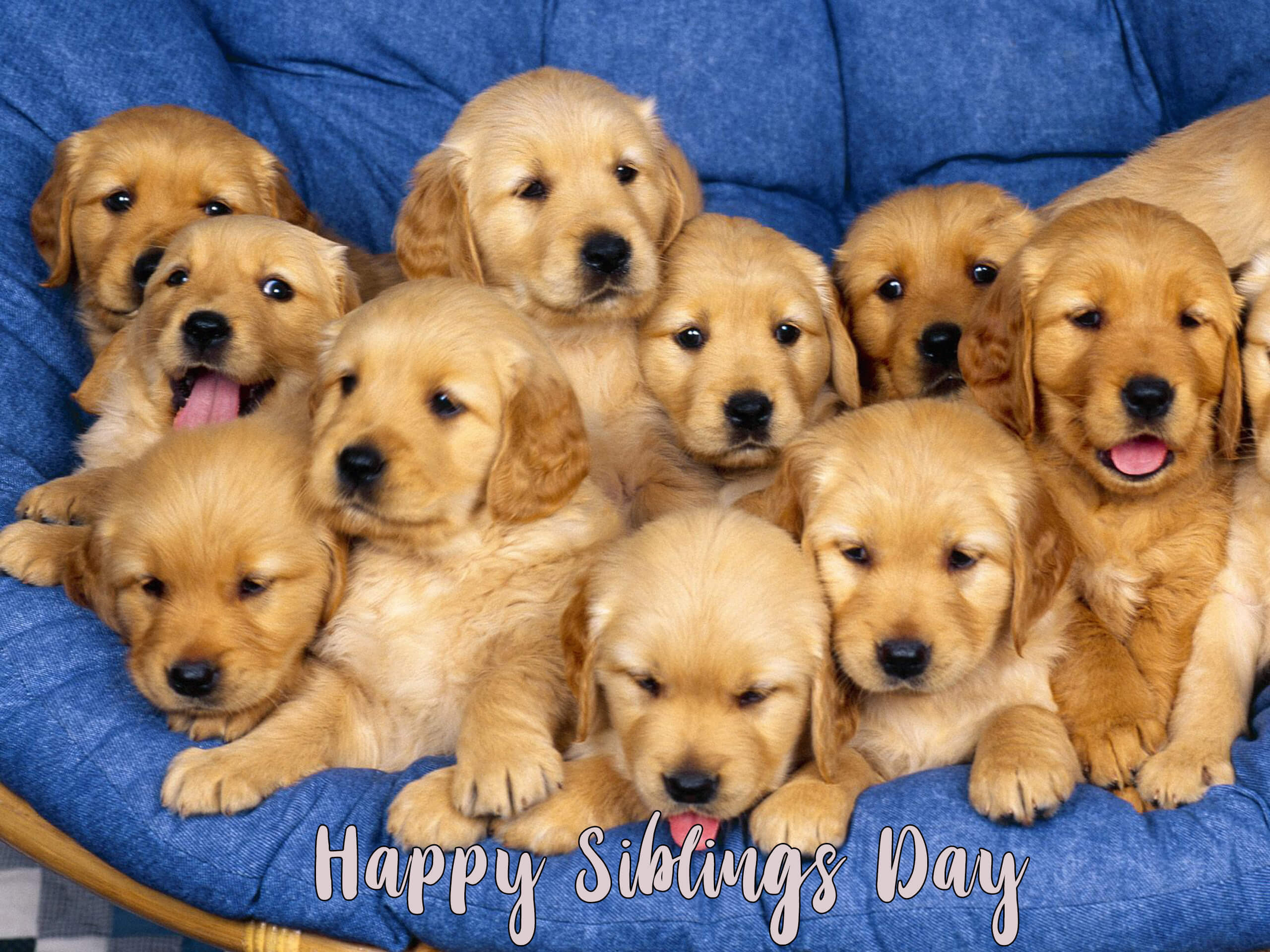happy national siblings day golden retriever puppies hd wallpaper