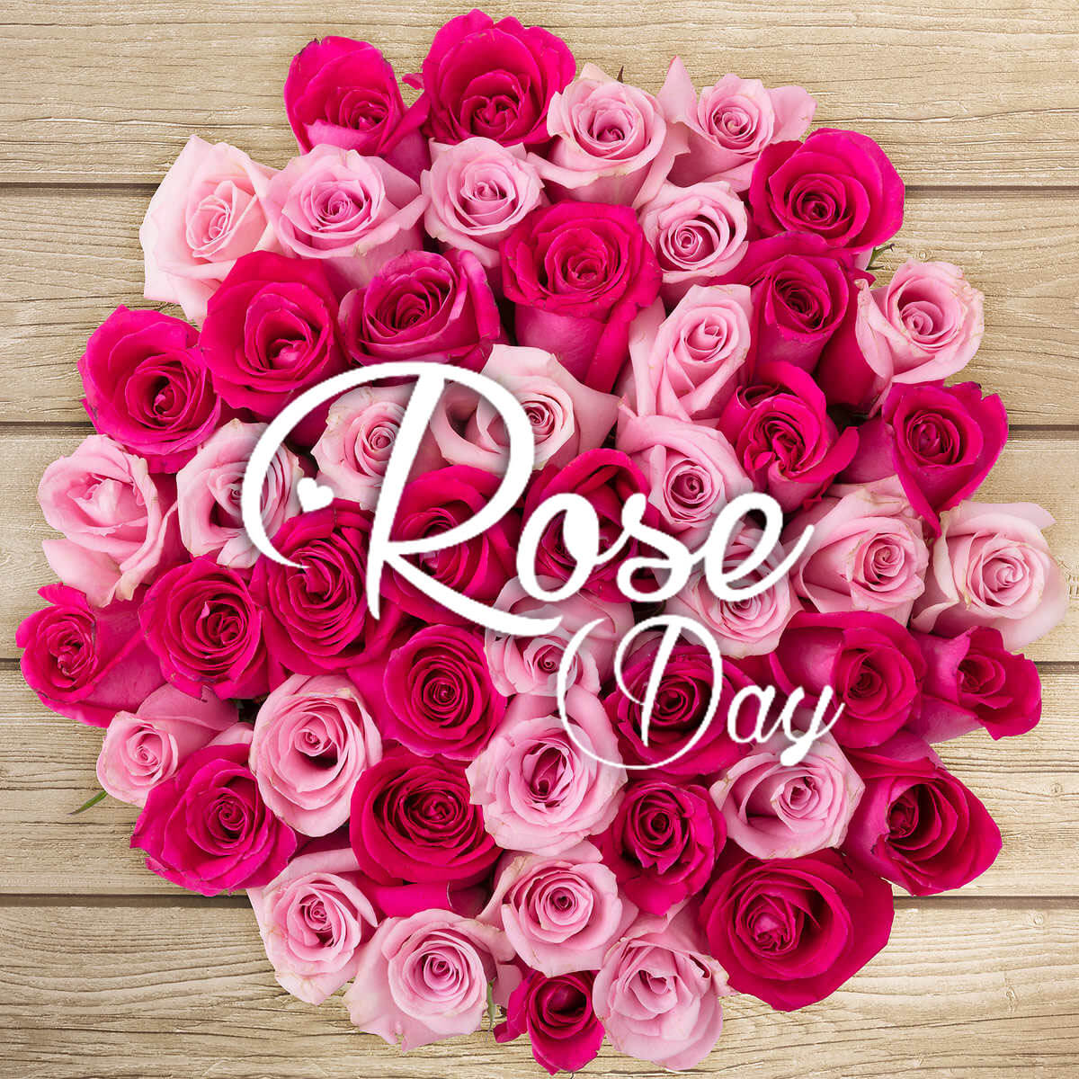 happy rose day pink flower love wishes greetings image picture hd wallpaper