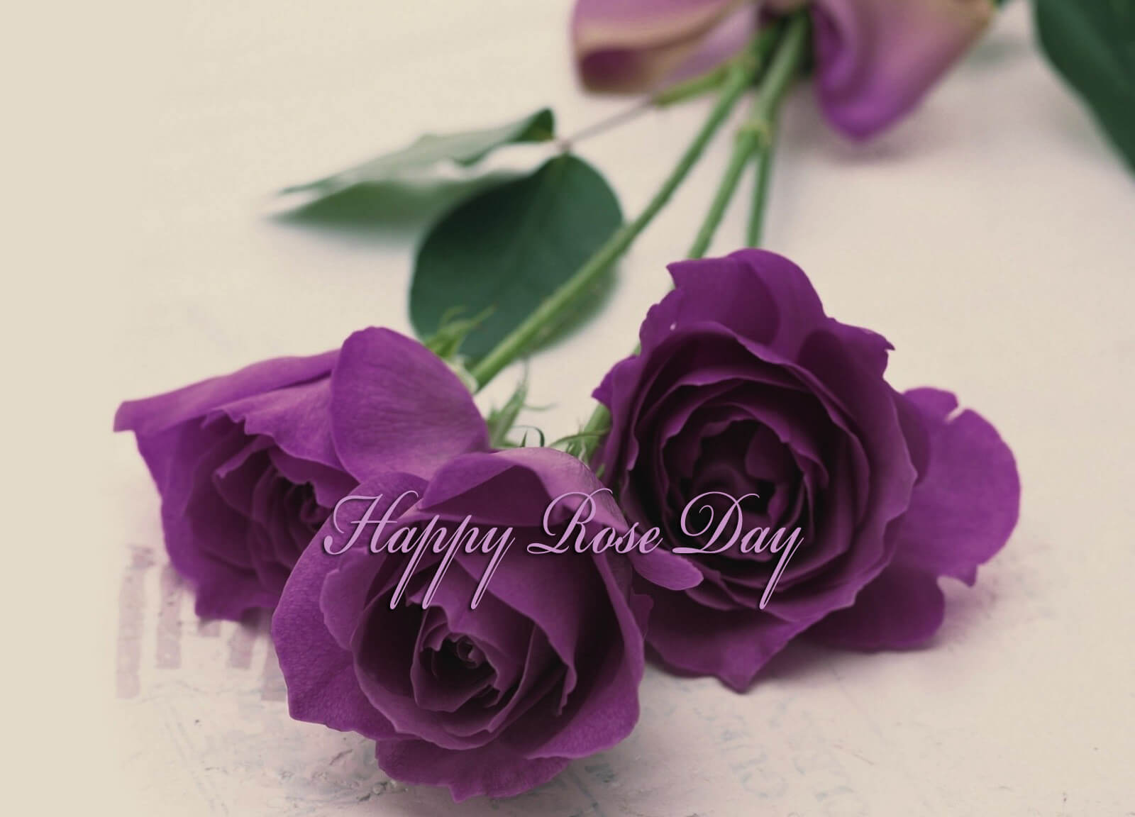 happy rose day wishes violet purple greetings image background hd wallpaper